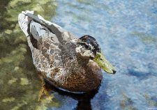 Female-Duck